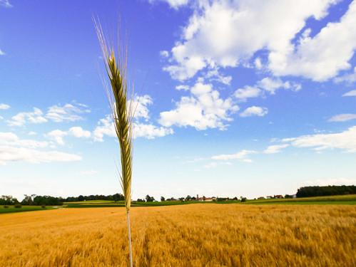 Getreidefeld in Landscha