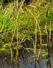 Sumpfpflanzen im Colsrakmoor - Teich-Schachtelhalm (Equisetum fluviatile); Meggerdorf, Stapelholm (3) (Chironius) Tags: meggerdorf stapelholm schleswigholstein deutschland germany allemagne alemania germania германия niemcy equisetales schachtelhalmartige equisetaceae schachtelhalmgewächse equisetum schachtelhalme moor sumpf marsh peat bog sump bottoms swamp pantano turbera marais tourbière marécageuse