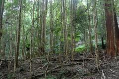 Pinkwood (Eucryphia moorei) (Poytr) Tags: pinkwood eucryphiamoorei eucryphia rainforestregeneration cooltemperaterainforest cunoniaceae arfp nswrfp vrfp rainforest gulaganationalpark mountdromedary atherospermataceae narooma nsw