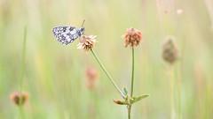 Dambordje - Marbled White (Wim Boon (wimzilver)) Tags: vlinder butterfly dambordje wimzilver wimboon macro macrofotografie canoneos5dmarkiii canon100mmf28lismacro eifel