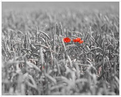 Red poppies (chtimageur) Tags: canon 6d 85 18 france poppies red landscap landscape flowers black white nature chti dof bokeh