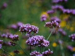 _IGP8365.jpg (DWO630) Tags: 90mm pentaxk01 flowers garden lewisginter lewisginterbotanicalgarden lgbg macrolens primelens richmond rva tamron90mmmacro va virginia