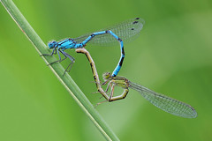 Can you ride tandem....... (klythawk) Tags: commonblue enallagmacyathigerum damselfly mating summer nature wildlife green blue brown black olympus omd em1mkll 100400mm panasonic colwickpark nottingham klythawk
