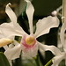 White Orchid Types White Orchids