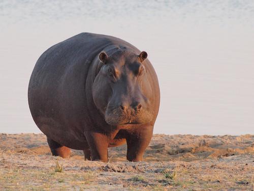 フリー画像| 動物写真| 哺乳類| 河馬/カバ|        フリー素材|