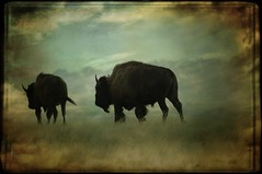 Badlands Bison (ttsweet) Tags: nature southdakota wildlife overlay badlands tonysweet niksoftwarevivezagetty1127textureoverlay