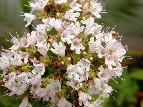 flores de oregano
