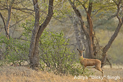 ADS_000006933 (dickysingh) Tags: india landscape scenery outdoor scenic aditya gazelle ranthambore singh ranthambhore dicky chinkara adityasingh ranthamborebagh theranthambhorebagh wwwranthambhorecom
