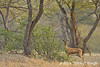 ADS_000006933 (dickysingh) Tags: india landscape scenery outdoor scenic aditya gazelle ranthambore singh ranthambhore dicky chinkara adityasingh ranthamborebagh theranthambhorebagh wwwranthambhorecom