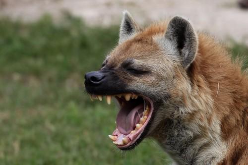 フリー画像| 動物写真| 哺乳類| イヌ科| ハイエナ| 欠伸/あくび|      フリー素材|
