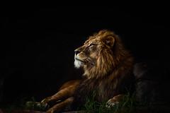 lion_004