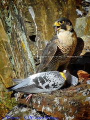 Peregrine falcon with a catch. (spw6156) Tags: 1 with taken nationaltrust licence shedule plymbridge cannquarry peregrinefalconcatchadultfemalefalcon1000mmlenshandheldiso400croppedfalcoperegrinus raptorsreworkedcopyrightstevewaterhouse plymperegrineproject plymbridgeperegrinefalcons copyrightstevewaterhouse