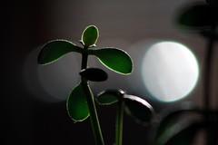 Next time I'll use a tripod (Fred Sorin) Tags: plant blur macro closeup dof bokeh flou fredsorin