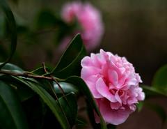Routine and Orderly (T i s d a l e) Tags: november autumn flower fall field 50mm iso200 nikon farm northcarolina bloom f2 camellia shrub 2009 tisdale 12000 abigfave nikond90 camelliabeds routineandorderly