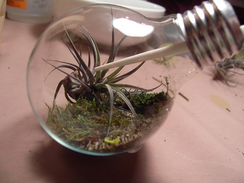 Add a tillandsia