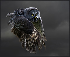 Grey grey owl takes to the sky (hawkgenes) Tags: uk nature birds wildlife owls birdsofprey strix nebulosa specanimal thewonderfulworldofbirds greatgreyowls magicunicornverybest magicunicornmasterpiece hawkgenes peregrino27newvision