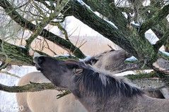 It is hard to survive the winter (wandelgraaf(mostly off)) Tags: horses hose flevoland paard paarden oostvaardersplassen konik konikhorses konikpaarden oostvaarders