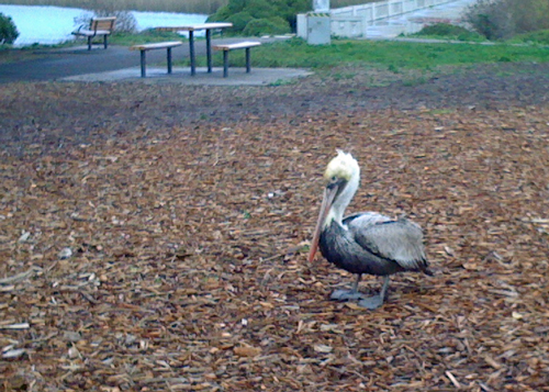 pelican-in-situ.jpg