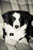 3/52 (fotoham) Tags: blackandwhite dog puppy tags bordercollie pup indi sigma70300mmf4056dgmacro nikond3000 52weeksfordogs sigmaflashef500dgsuper