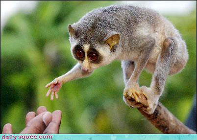slow loris reaching out to a human hand
