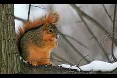 Cold Nose... (laszlo-photo) Tags: winter ohio snow cold nature squirrel cleveland foxsquirrel myfrontyard sciurusniger specanimal animalkingdomelite