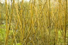Salice giallo (Salix viminalis) / Yellow willow (anna.carpi) Tags: yellow branches willow salixviminalis
