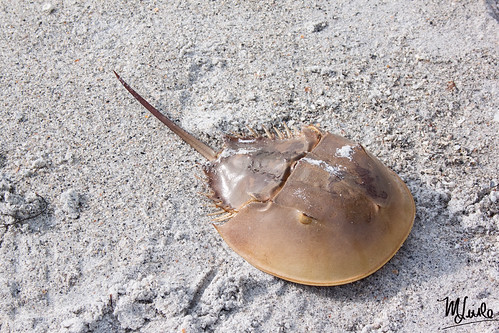 horseshoe crab 2