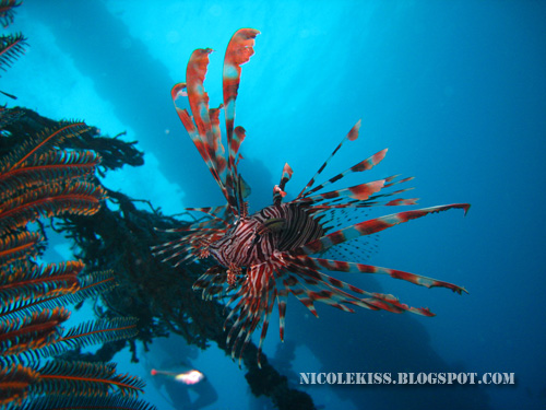 nice shot of lion fish 2