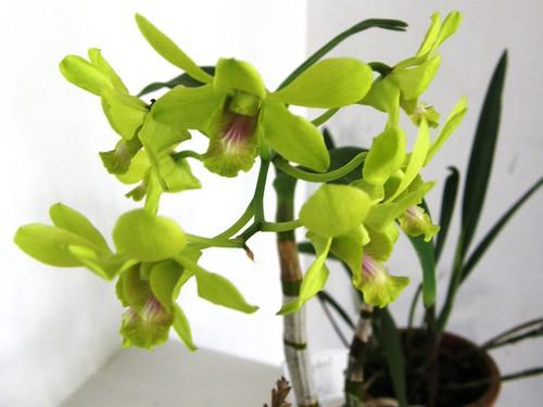 orquidea 6