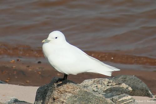 Ivory Gull (18)