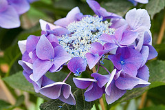33582 (Clive Nichols) Tags: hydrangea shrub nizza hortensia mophead macrophylla hortensis ranice clivenichols flickrhydrangeas