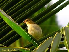 Passarinho fujo! (Jos R. Filho) Tags: bird nature animal natureza passarinho pssaro starsaward
