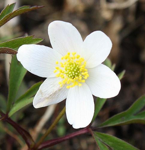 Valkovuokko, anemone