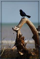 ~laaaa la laaa, sang the little blackbird~ (itsjustme1340-Ress) Tags: sea sunlight driftwood almost tgif blackbird beachwood ress ilovethis singingbythesea laaalaalaaaa