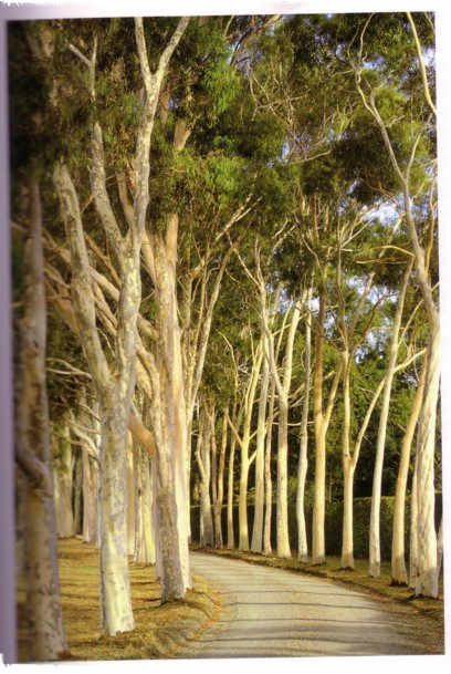 gum tree lined driveway at Cruden Farm - Eucalyptus Citriodora (Natural Planting - Penelope Hobhouse)