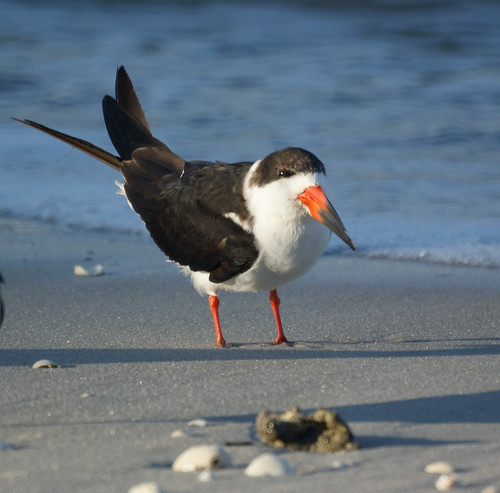 Black Skimmer: Naples FL