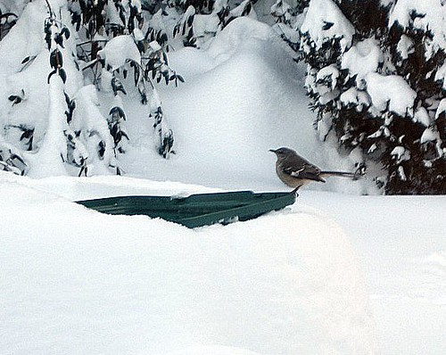 Bird at Bird Bath during Snowpocalypse