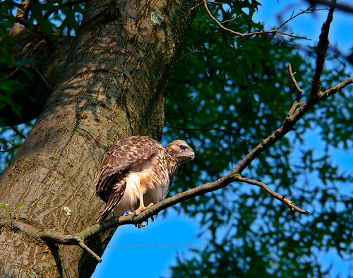 Baby red-shouldered hawk 0084