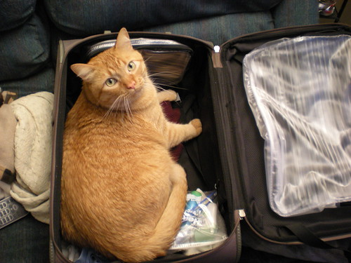 Ginger cat in a suitcase