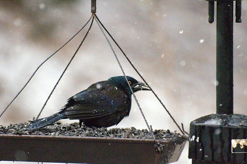 grackle snow2