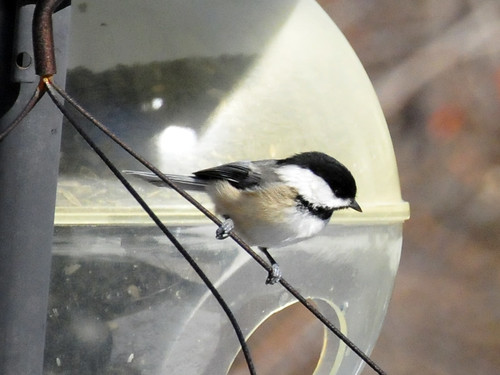 chickadee close up 2
