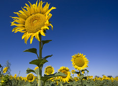Spanish Sunflowers (Lawrence OP) Tags: blue españa green yellow spain sunflowers caleruega