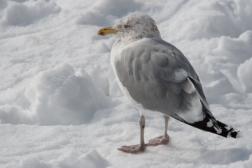 Another Seagull on a Snowy Beach