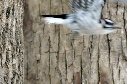 Downy Woodpecker Getaway
