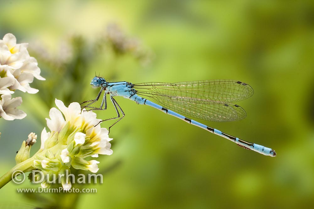 vivid dancer damselfly (Argia vivida)