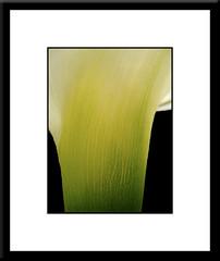 calla lily (Netta Bank) Tags: callalily