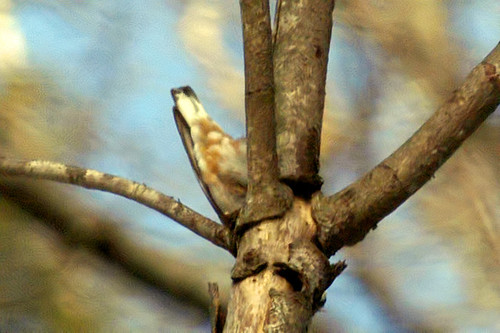 nuthatch tail