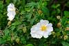 Carmel Forest, Israel (Mark Lukoyanichev) Tags: flowers trees winter white green forest israel spring carmel hellmaker