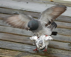 Pigeon coupling (kewzoo) Tags: birds wings feathers mating flap mounting montereyca rockdoves slbmating
