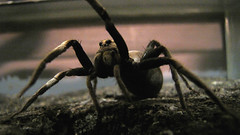 Wolf Spider (Joshr-b) Tags: museum insect spider melbourne lycosidae bugsalive canonpowershotsx1is